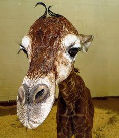 Newborn Reticulated Giraffe