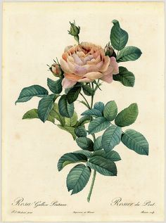 Rosa gallica Pontiana - by P.J. Redouté (1824) | Flickr - Photo Sharing!