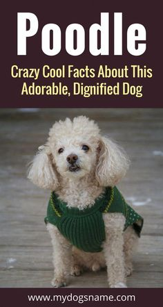 View description, detailed stats, and facts about the Poodle dog breed. Compare it to other breeds to find the perfect dog for you! Red Poodles, Mini Poodles, French Poodles, I Love Dogs, Cute Dogs, Poodle Haircut, Poodle Cuts, Poodle Grooming, The Perfect Dog