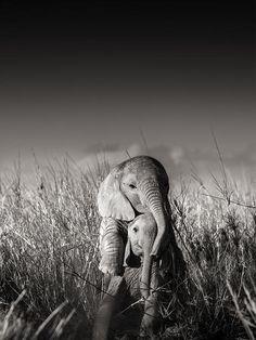 Joachim Schmeisser | Elephants in Heaven: Joachim Schmeisser #Elephants in Heaven #Immagis #FineArt #Photography #Munich @IMMAGIS #wildlife…
