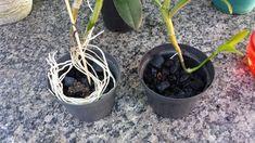 Aprenda um método muito eficiente para acelerar a adaptação de sua orquídea plantada no carvão. Com esse método em apenas 15 dias
