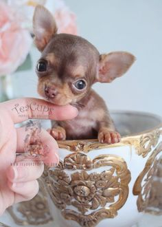Tiny Teacup Chihuahua puppy by TeaCups! www.TeaCupsPuppies.com