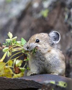 Pika gathering food to make 'hay piles'..sweetie pie!!!