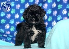 Bobo – Pekingese Mix Puppies for Sale in PA | Keystone Puppies