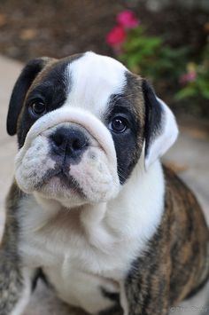 """Bellatrix the English Bulldog puppy (""""My cute look"""" by Yankees Man, via Flickr) Can a bulldog puppy have any look other than a """"cute"""" look?"""