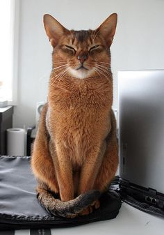 I am purrfect little abyssinian angel teddy by Pixelhan - Sutherland Kovach Studio, via Flickr