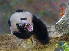 One Pleased Panda.This baby panda can bear-ly contain himself. Smiling Animals, Laughing Animals, Happy Animals, Funny Animals, Cute Animals, Smiling Faces, Panda Bebe, Cute Panda, Panda Funny