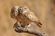 Little Owls ~ by Uri Kolker