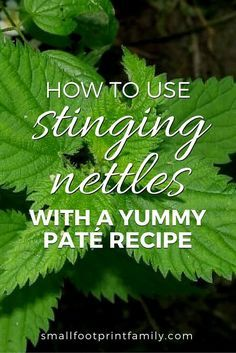 Many people discover stinging nettles the hard way, but if you can avoid their sting nettles are a nutritious and delicious food and natural medicine. Here's how to use them.