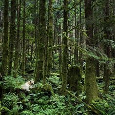 Photograph by @paulnicklen // A Kermode Bear, also known as a Spirit Bear sits peacefully among the towering trees of the Great Bear Rainforest, BC.  He is waiting for the next wave of pink salmon to enter the river where he will feast to build fat reserves for winter hibernation.