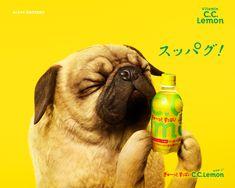 Suntory [ C.C.Lemon ] #wallpaper | cute #pug