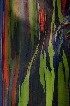 """Rainbow Eucalyptus"" by Bojorchess, via Flickr"