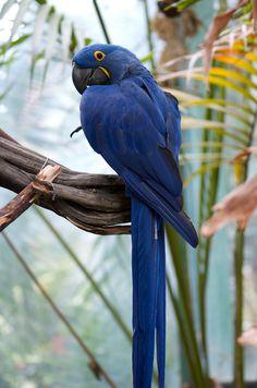 Hyacinth Macaw (Anodorhynchus hyacinthinus)  by JP in SD
