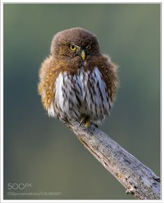 Northern Pygmy Owl by Pius_Sullivan #animals #animal #pet #pets #animales #animallovers #photooftheday #amazing #picoftheday