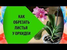 Как Обрезать Листья у Орхидеи - YouTube