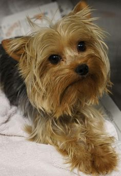 Meet Nigel a Petfinder adoptable Yorkshire Terrier Yorkie Dog | Los Alamitos, CA | Nigel is a tiny male yorkie. This 3-4 yr old boy is around 4 lbs and as sweet as can be. He...