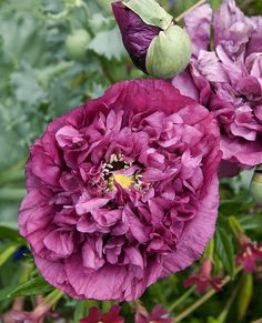I love these. I'm keeping my eye out at the garden store and occasionally trying to grow them from seed. Without success, but hope springs eternal even if my plants don't.  Papaver 'Thelma Crawford' by anniesannuals, via Flickr
