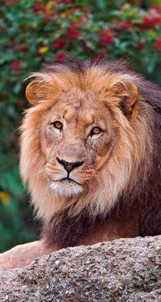 Head of the pride
