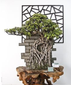 World Bonsai Friendship Federation Convention Ficus