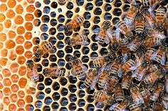Studies fault Bayer in bee die-off A corn pesticide manufactured by the German chemical company Bayer has come under scrutiny in two scientific studies that indicate that it is responsible for mass deaths of pollinating bees. Top Bar Hive, Bee Swarm, Green Farm, Bee Boxes, I Love Bees, Save The Bees, Bees Knees, North Dakota, Bee Keeping