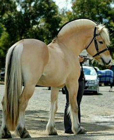 Norwegian Fjord Horse Brown Dun Traditional Mane Show Bridle Halter Standing Stallion Gelding Mare Most Beautiful Horses, All The Pretty Horses, Big Horses, Horse Love, Beautiful Creatures, Animals Beautiful, Fjord Horse, Les Fjords, Horse Facts