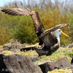 Spotted on the Galapagos leg of our Ecuador adventure: the majestic, yet critically endangered Waved albatross, the only albatross species found in the tropics. #wildlife #auroraexpeditions Image credit: Dirk Selderyk