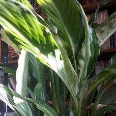 Planta na minha biblioteca.  Lírios. . . . . . #nofilter #rj #riodejaneiro #books #livros #plant #plants #verde #casa #home #maker #nikon #canon #samsung #green #verde #paz #outono #library #brasil #brazil