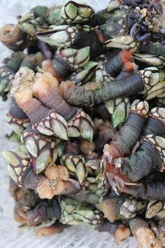 Portuguese Goose Barnacles | Gourmet Lisbon | Scoop.it