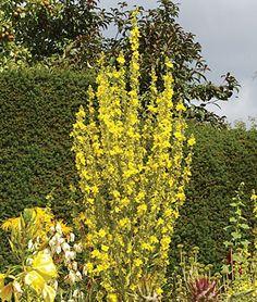 Verbascum, Christo's Yellow Lightning - Verbascum at Burpee.com