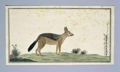 Canis mesomelas (Black-backed jackal), Robert Jacob Gordon, 1773 - 1786