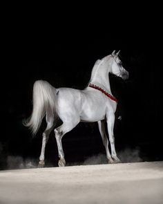 We are proud to announce that our young stallion Om El Bellissimo is on lease to the famous Polish State Stud, Janow Podlaski.