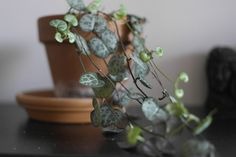 Picture of Ceropegia linearis subsp 'Woodii'