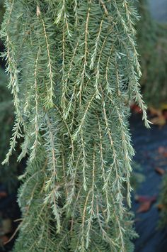 "Foliage close-up of Tsuga heterophylla ""Thorsen's Weeping"""