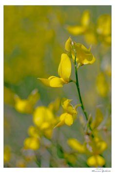 Spring Time Lemon Drops, Time Photography, Spring Awakening, Spring Has Sprung, Bokeh, Spring Time, Heavenly, Seasons, Yellow