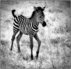 Baby Zebra by ~justinblackphotos on deviantART400 x 390 | 182.1 KB | justinblackphotos.deviantar...