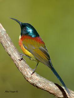 Green-tailed Sunbird male, Aethopyga nipalensis
