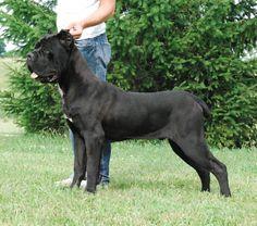 Ive found my next dog: Cane Corso