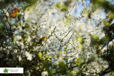 Spring blossom, Gloucestershire. UK Spring Blossom, Photographs, Photos, Photograph, Fotografie, Cake Smash Pictures