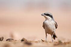 Great Grey Shrike ( L: Lanius excubitor / N: Varsler )