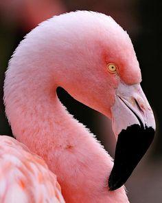 Portrait of a Flamingo by Bill Dodsworth Flamingo Wallpaper, Flamingo Art, Pink Flamingos, Florida Decorating, Bullet Journal Art, Pink Feathers, Photo Wall Collage, Beautiful Birds, Beautiful Creatures