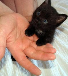 Love the look on this sweet little black kitten's face.