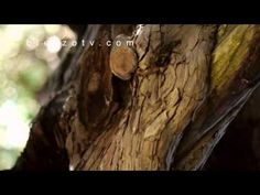 """El Tejo de San Cristóbal de Valdueza. El Tejo, árbol sagrado de los celtas, tiene en San Cristóbal su lugar sagrado y mágico. Ubicado junto a la vieja ermita debe ser considerado como una reliquia, un auténtico monumento vegetal vivo, muy vivo. Sobre su antigüedad mucho se ha meditado, citado ya por Madoz en su Diccionario Geográfico de España, dice P. G. Trapiello """"ya miraba perplejo lo que pasaba por El Bierzo mucho antes de que se colocara la primera piedra de la catedral de León""""."""