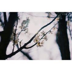 따뜻한 햇살을 느끼는 날....   #sony #a7 #digitalcamera #lens #55mm #snap #photo #daily #일상 #다사 #금호강 #flower #매화 #꽃스타그램 #sunshine #햇살 #20150330 #사진추억과기억을공유하다 #photoholic #김군_Photography