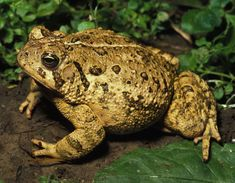 Lover of damp log piles and deep leaf litter. The common toad spends much of its year in moist, shaded places, often in woodland, feeding on worms, slugs and insects. When it's scared or threatened, the warts on its back secrete a vile-tasting substance – its defence against predators.  Info: Woodland Trust Frog Facts, Crocodile Animal, Frog And Toad, Reptiles And Amphibians, Habitats, Cute Animals, American, Frogs, Animals