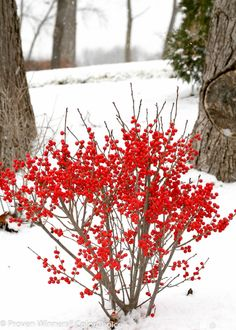 Height3 - 4' Spacing3 - 5' ExposurePlant in sun or partial shade Hardy Temp-40°F (-40°C) UsesHedges, cutting gardens, mixed borders FeaturesNative. Red fall fruit. Good for cuts. Compact. SoilMoist to damp soils. PruningPrune in late winter/early spring. TypeDeciduous BloomtimeEarly summer Flower ColorWhite Foliage ColorGreen Zone3 - 8