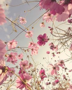 Cosmos filled skies by Blue Flower Wallpaper, Spring Wallpaper, Apple Tumblr, Iphone Wallpaper Travel, Flower Graphic Design, Some Beautiful Pictures, Pretty Wallpapers, Flowers Nature, Flower Photos