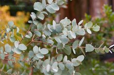 Eukaliptusz Gardens, Fruit, Flowers, Plants, Outdoor Gardens, Plant, Royal Icing Flowers, Flower, Florals