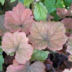 Tellima grandiflora Rubra - Tellime à grande fleur