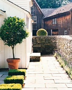 The Walkway:   A potted calamondin-orange tree stands alongside boxwood squares outside the summerhouse. The bluestone walkway leading to the L-shaped barn is enclosed by dry-laid fieldstone walls edged with lavender.