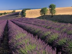 Lavendar fields in Provence, France -- just gorgeous!
